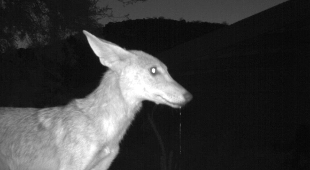 Coyote Getting Drink of Water at Night