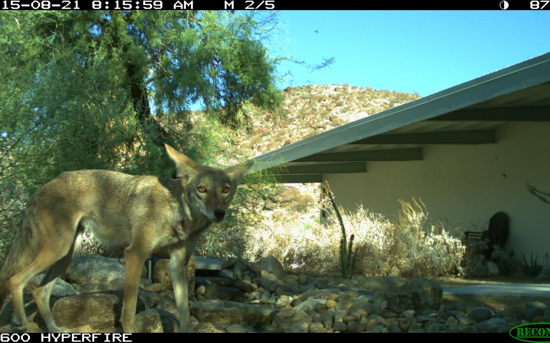 Coyotes and Bobcat visit to Water Feature
