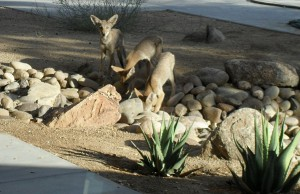 Three coyotes at the Anza Borrego Desert Research Center