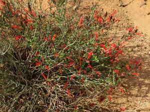 Chuparosa (Justicia californica) Photo by Jim Dice