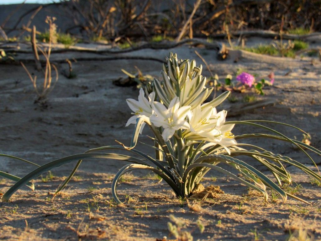 Desert Lily by Sicco Rood