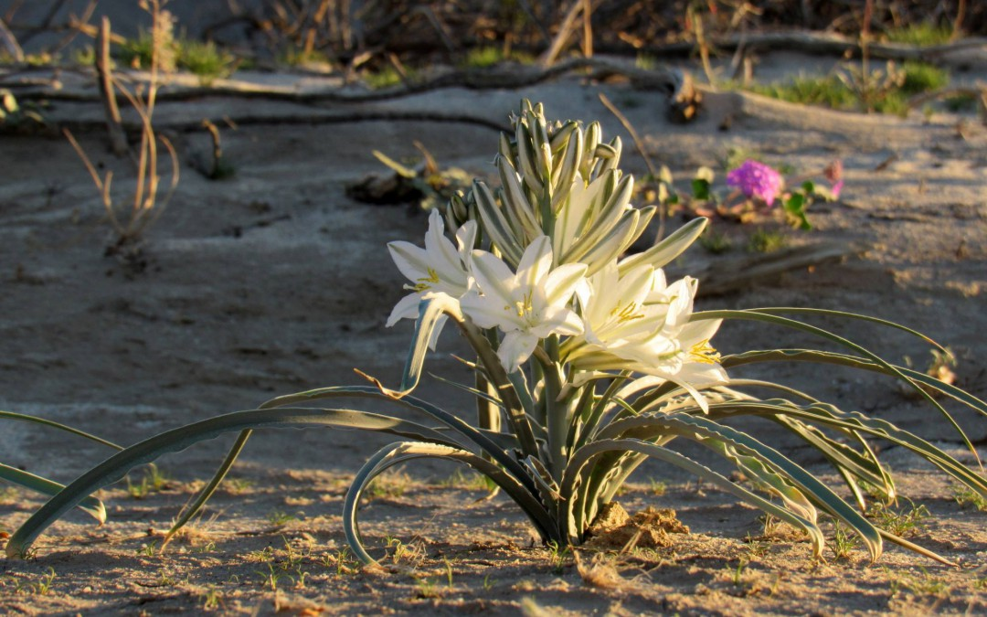Desert lily (Hesperocallis undulata) and desert sand verbena (Abronia villosa) now starting to bloom!