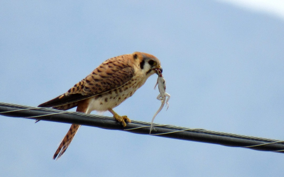 American Kestrel with a side-blotched lizard. One of their favorite foods