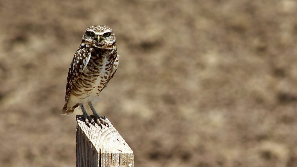 Northern burrowing owl (A. c. hypugaea)
