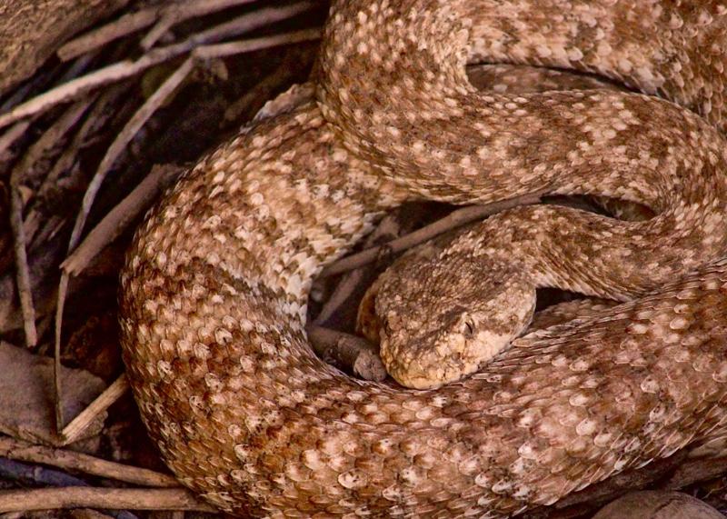 Rattlesnake sm