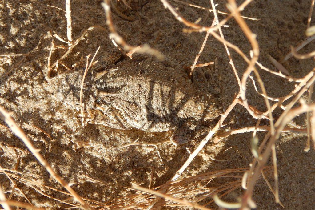 Flat-tailed Horned Lizard