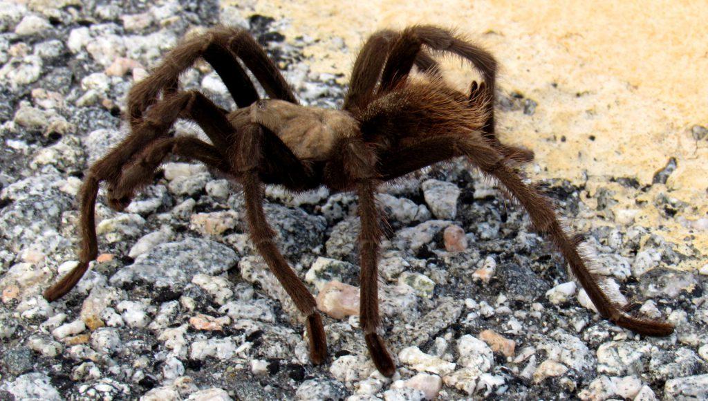 Aphonopelma eutylenum Tarantula
