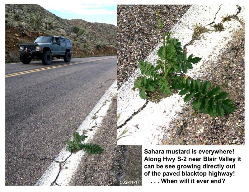 5. mustard weed growing in hwy s-2, 2-11-17