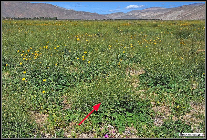 Henderson Canyon Sahara mustard (Brassica tournefortii) northeast of Borrego Springs.