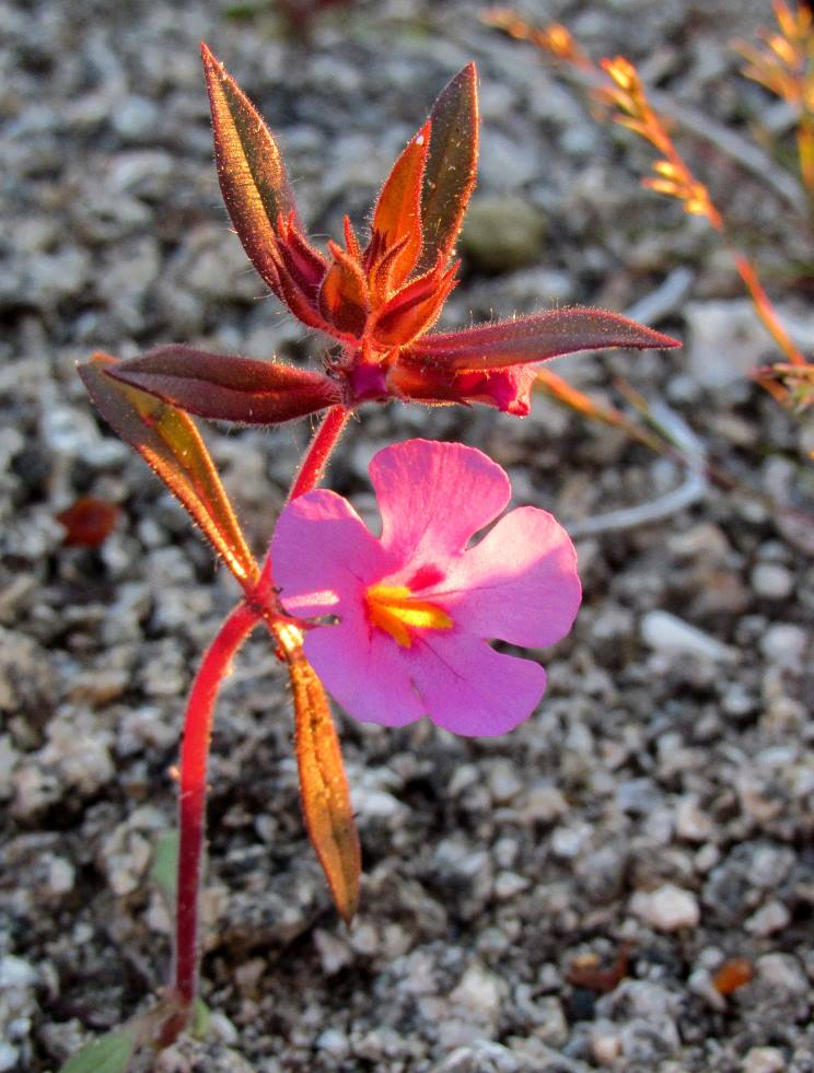 Tiny Monkey flowers can be found in the washes (Photo: Sicco Rood)