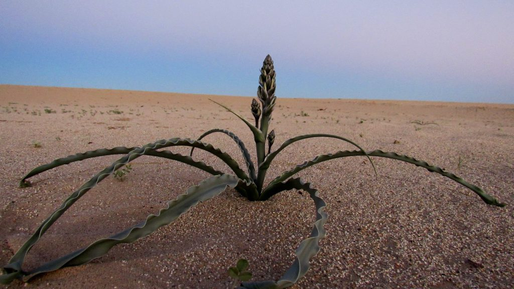 Desert lily coming up out of the soil near the badlands (Photo: Sicco Rood).