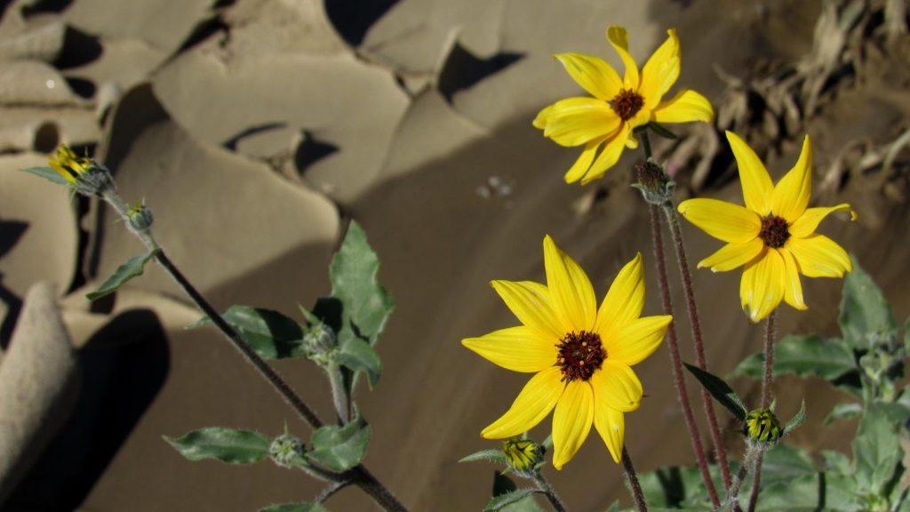 Sunflowers and mud