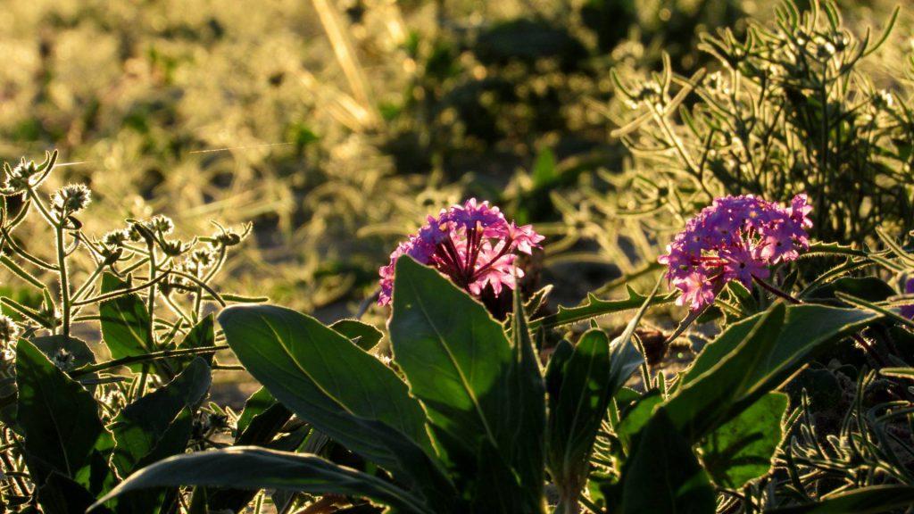 Desert sand verbena purple flowers greeting the sunlight (Photo: Sicco Rood).