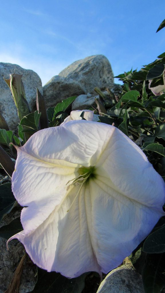 Western Jimson Weed, Datura wrightii growing between the rocks in Anza-Borrego desert (Photo: Sicco Rood)