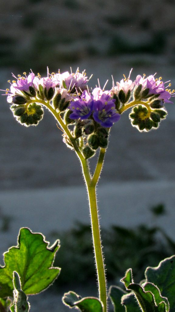 Notch leaf phacelia, Phacelia crenulata ambigua in the Borrego badlands (Photo: Sicco Rood)
