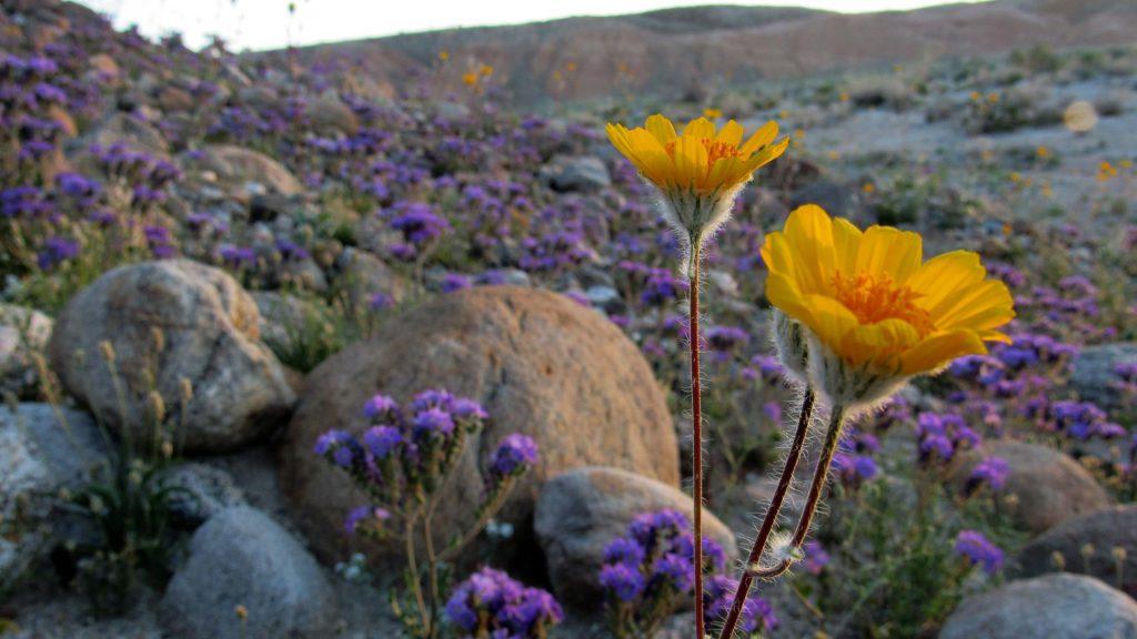 Desert sunflowers and carpets of Notch leaf phacelia, Phacelia crenulata ambigua's all over the Borrego badlands (Photos: Sicco Rood)