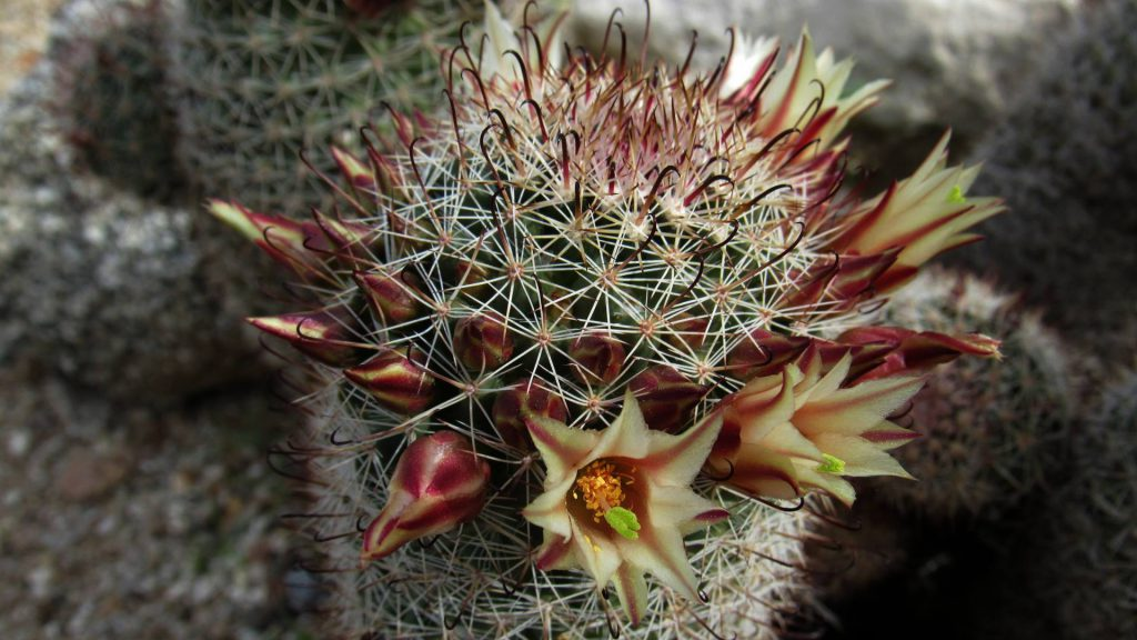 Fishhook cactus, Mammillaria dioica at the research center weather station (Photo: Sicco Rood).
