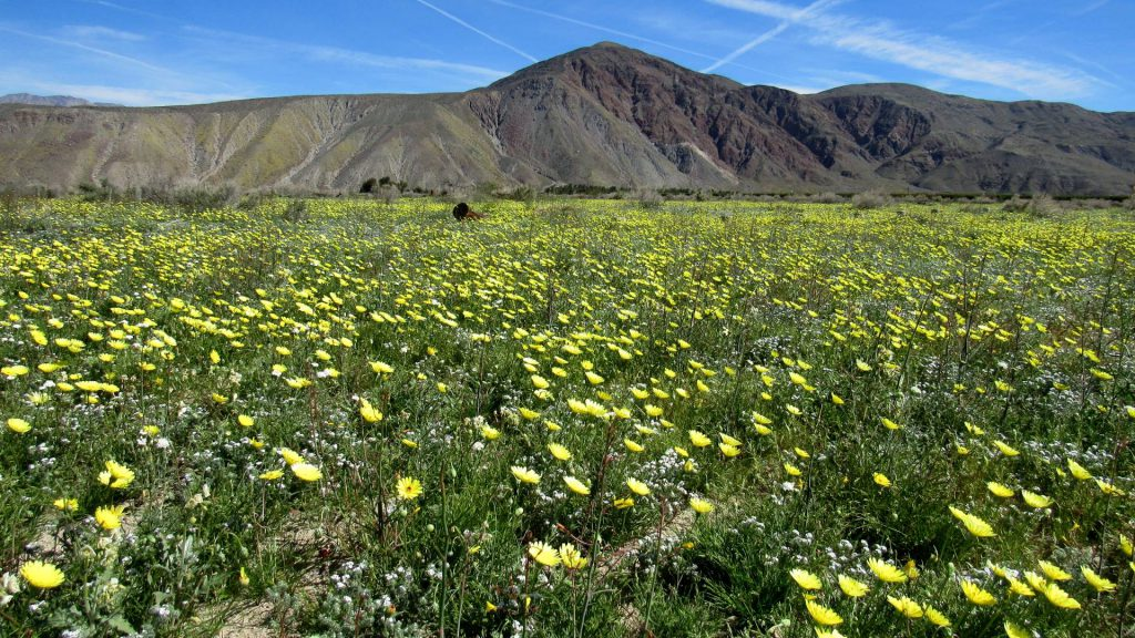Fields of Desert dandelion (Malacothrix glabrata)