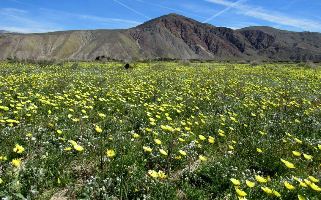 Wildflower Super Bloom Photos of the Anza-Borrego Desert