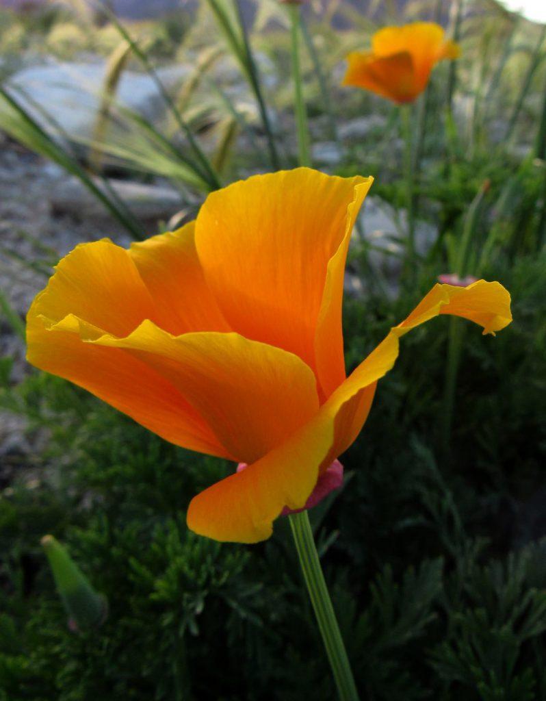 California poppy (Photo: Sicco Rood)