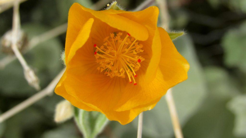 Desert globemallow or apricot mallow, Sphaeralcea ambigua (Photo: Sicco Rood)