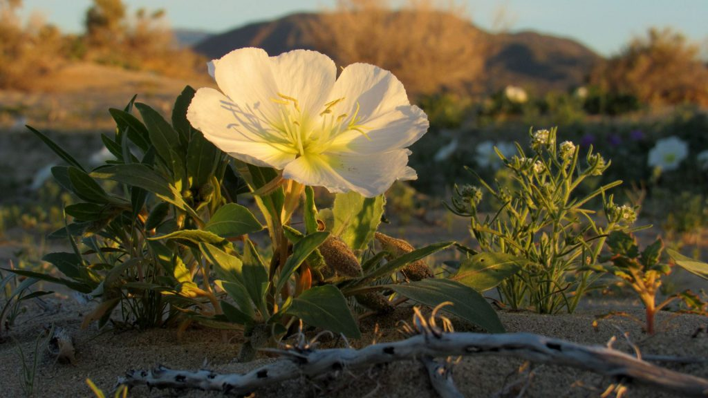 Desert evening primrose (Photo: Sicco Rood)