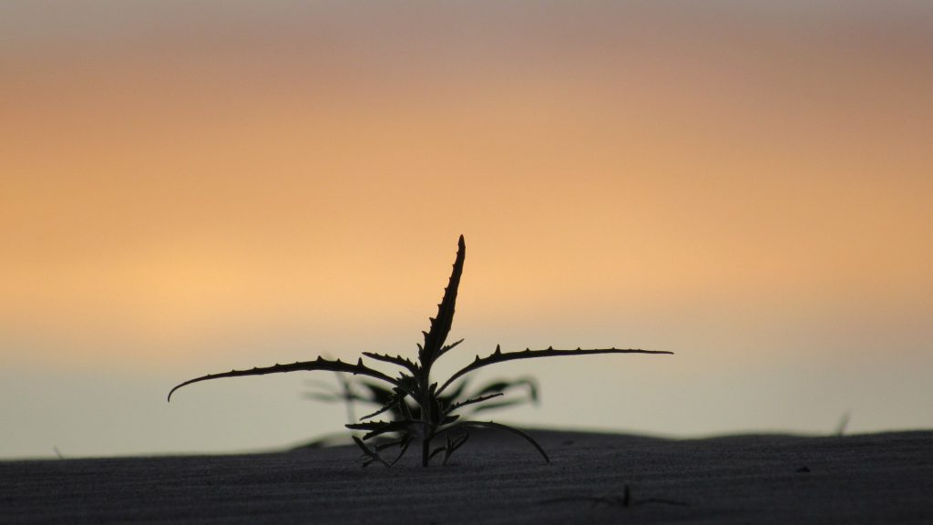 Not sure...beautiful plant coming up out of the sand at dawn (Photo: Sicco Rood)