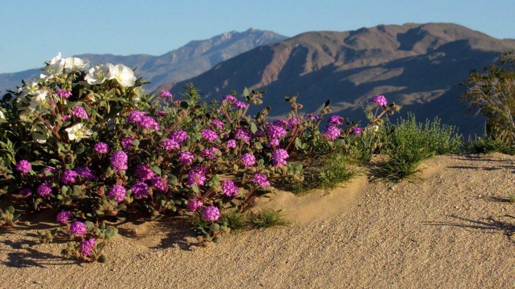 Desert Evening Primrose with Sand verbena bouquet (Photos: Sicco Rood)