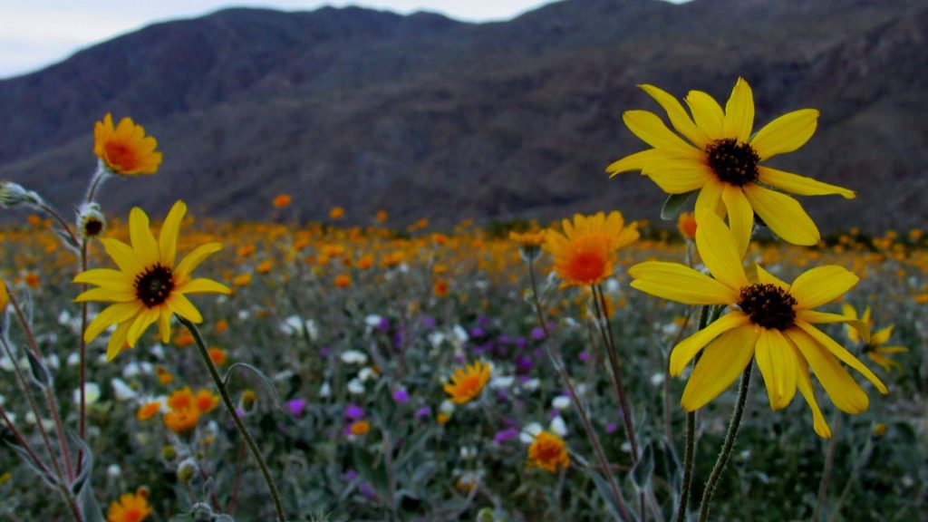 The Henderson Canyon flower fields are filled with color even after the sun has long gone behind the mountains (Photo: Sicco Rood)