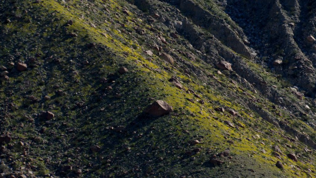 Whole mountain sides are bright yellow with Parish's poppy, Eschscholzia parishii (Photo: Sicco Rood)