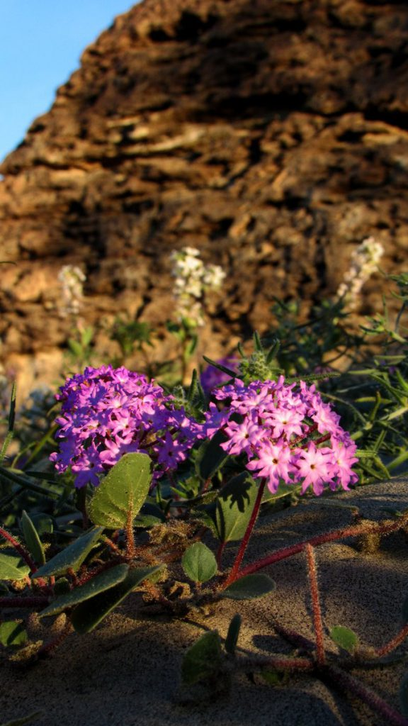Purple verbana growing in the sand against a rock background (Photos: Sicco Rood)