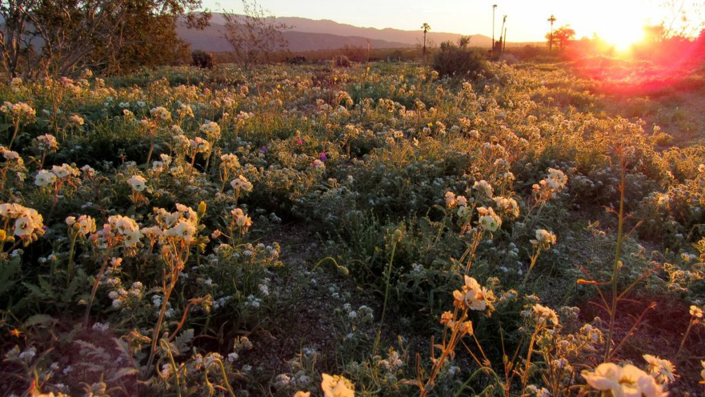 Brown-eyed primrose field at sunrise in Borrego valley (Photos: Sicco Rood)