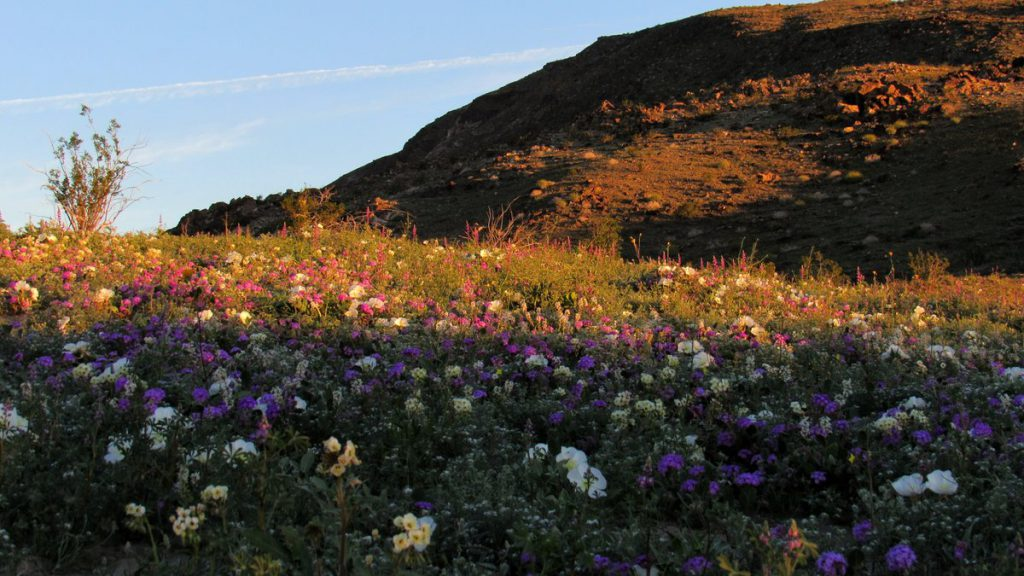 Wildflower mix on the slopes of Coyote mountain (Photo: Sicco Rood)