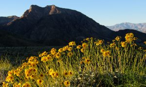 Brittlebush in front of Indianhead peak (Photo: Sicco Rood)