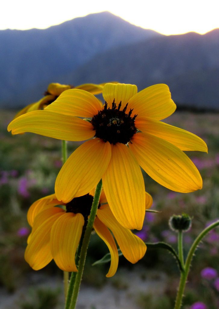 These beautiful ephemeral desert sunflowers can almost glow in the dark! (Photo: Sicco Rood)