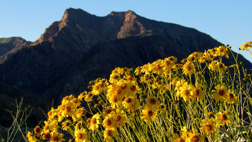 Brittlebush now flowering in front of Indianhead peak (Photo: Sicco Rood)