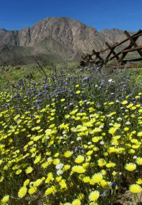 Carpets of Desert dandelions cover the desert floor with Indianhead peak in the background (Photo: Sicco Rood)