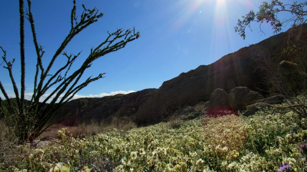 Field of Brown-eyed primroses in Coach-whip wash (Photos: Sicco Rood)