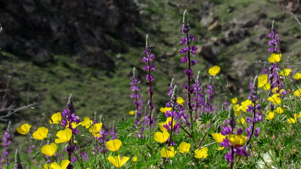 Parish's poppies mixed with Arizona lupines on the local mountain sides (Photos: Sicco Rood)