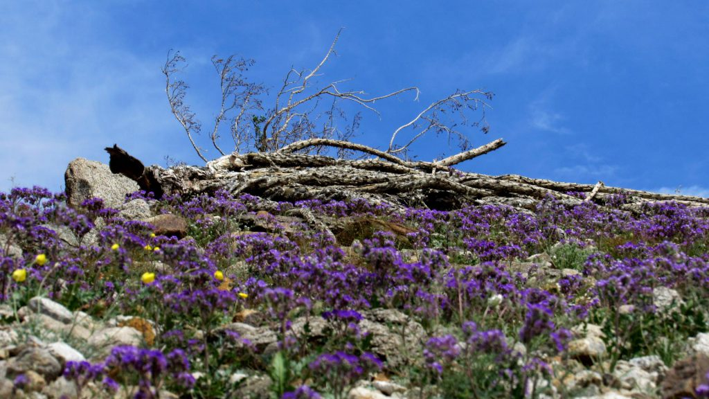 Dead ocotillo lays in a bed of purple Phacilia (Photos: Sicco Rood)