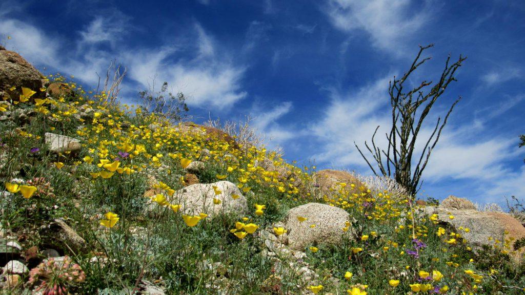 Parish's poppy field, Eschscholzia parishii, with Ocotillo on hillside (Photo: Sicco Rood)