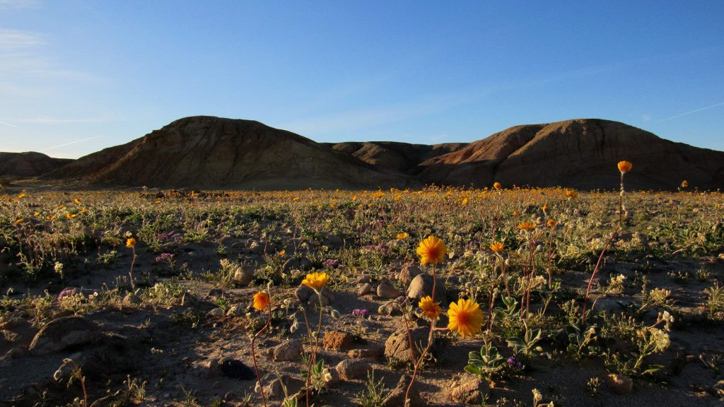 Desert sunflower field in Ocotillo Wells recreational vehicle area right before the Anza-Borrego Desert State Park boundary (Photos: Sicco Rood)