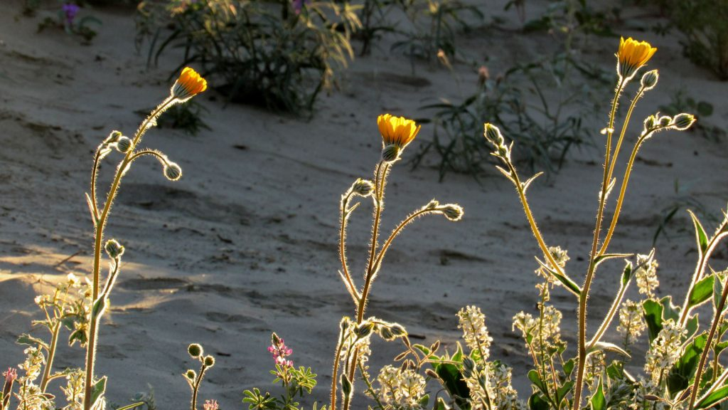 Desert sunflowers greet the morning light (Photos: Sicco Rood)